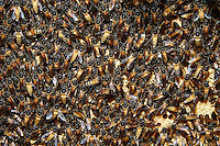 Apis dorsata bees on their brood.///Abeilles d'Apis dorsata sur leur couvain.