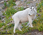 Mountain goat. Glacier National Park, Montana.