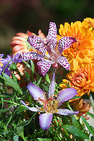 Tricyrtis formosana 'Purple Beauty' & 'Tapei Silk', two different toadflax varieties with Chrysanthemum in autumn bloom