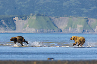 Lady Hook arrives to rescue her spring cub, BooBoo. She shoots off after Evil Bastard, the one who attacked BooBoo. Kodiak grizzly bear (Ursus arctos middendorffi), Hallo Bay