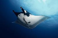 A large manta ray ( Manta birostris ) on Koh Bon, Similan Islands, Andaman Sea, Thailand