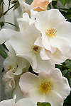 A close-up, detail view of three single, white rose blossoms on a climbing antique rose in the Sissinghurst-style white garden behind the farmhouse on this property.  The garden also includes white peonies and delphiniums, white roses, and garden flox, among others. Garden design by Toni Christianson, Christianson's Nursery