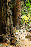 The Angel Trail, a wonderful hiking trail at the Angeles National Forest in Southern California with massive Cypress trees and creeks along the path that leads to higher elevations.