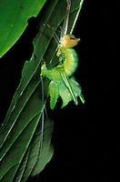 Katydid; Typophyllum bolivari; Ecuador, Amazon Basin
