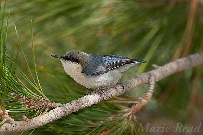 Pygmy Nuthatch (Sitta pygmaea), in Jeffrey PIne, Mono Lake Basin, California, USA