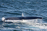 blue whale tail flukes