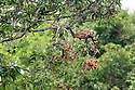 Adult squirrel monkey (Saimiri sciureus) feeding on canopy fruit. Manu Bispehere Reserve, Amazonia, Peru.