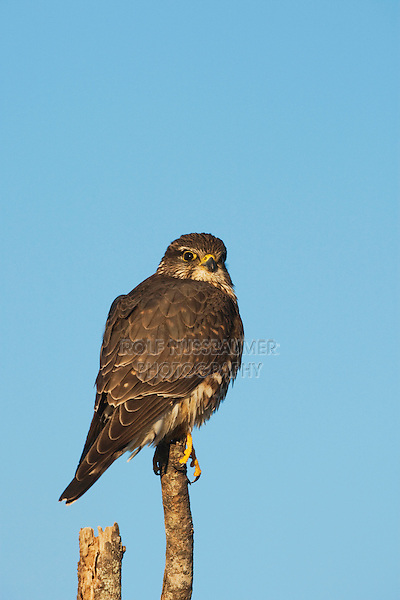 Merlin (Falco columbarius), adult on perched, Sinton, Corpus Christi, Coastal Bend, Texas, USA