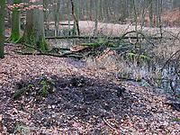 Wildschwein, Wild-Schwein, Schwarzwild, Spuren der Nahrungssuche im Wald, Boden wurde auf der Suche nach Eicheln und anderem Fressbaren aufgebrochen, Sus scrofa, Wild boar, Sanglier d´Europe