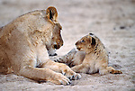 African lion mother and cub, Kruger National Park, South Africa