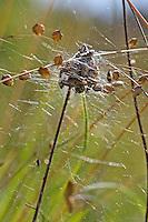 Braune Kugelspinne, Braunweiße Kugelspinne, Haubennetz, Netz, Spinnennetz, Fangnetz, Theridion impressum, Phylloneta impressa, comb-footed spider, web-building spider, Haubennetzspinnen, Kugelspinnen, Theridiidae