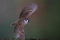 Feldspatz, Flug, fliegend, Flugbild, Feld-Spatz, Feldsperling, Feld-Sperling, Spatz, Spatzen, Sperling, Passer montanus, tree sparrow, flight, flying, sparrows, Le Moineau friquet