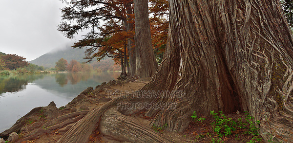Frio River lined with Bald Cypress (Taxodium distichum) trees, Garner State Park, Concan, Hill Country, Central Texas, USA