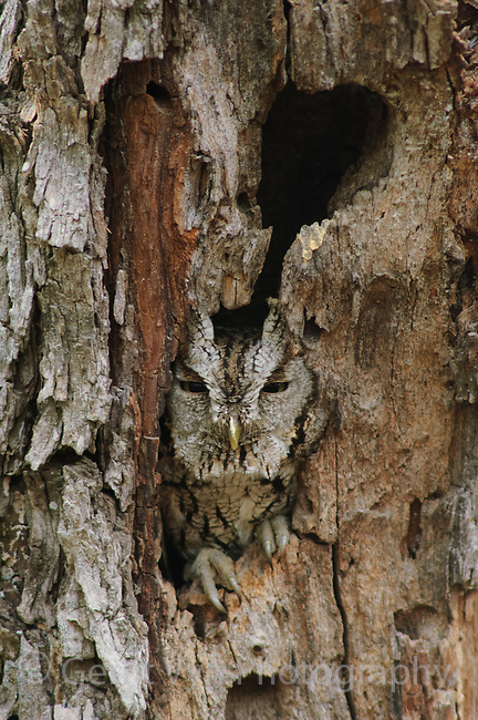 Adult Eastern Screech-Owl (Megascops asio) of the subspecies M. a. mccallii roosting in a natural tree cavity. This subspecies may be distinct from M. asio. Starr County, Texas. March.