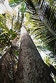Aldeia Baú, Para State, Brazil. View looking up the trunk of a rainforest tree with palm leaves.