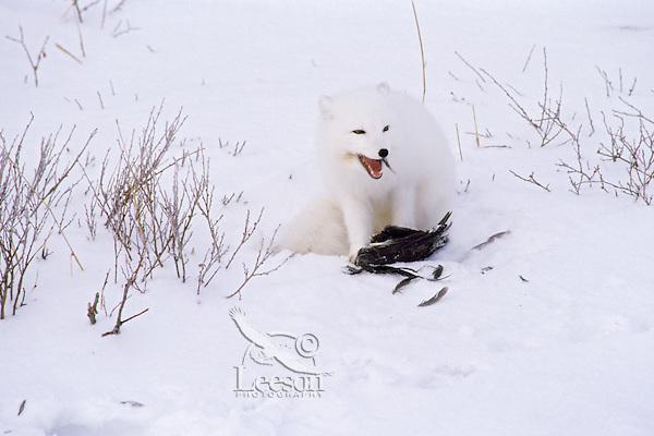 Arctic Fox feeding on bird.  Northern Canada.