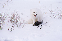 Arctic Fox feeding on bird.  Northern Canada.
