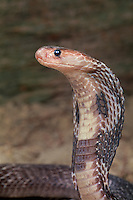 414334010 a captive indian cobra naja naja naja sits coiled with its head up and its hood expanded in a threat display - captive animal