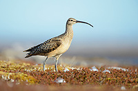 Bristle-thighed Curlew (Numenius tahitiensis) on coastal tundra post breeding. Yukon Delta National Wildlife Refuge, Alaska. June.