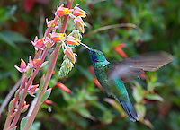 The green violetear is a common hummingbird species.