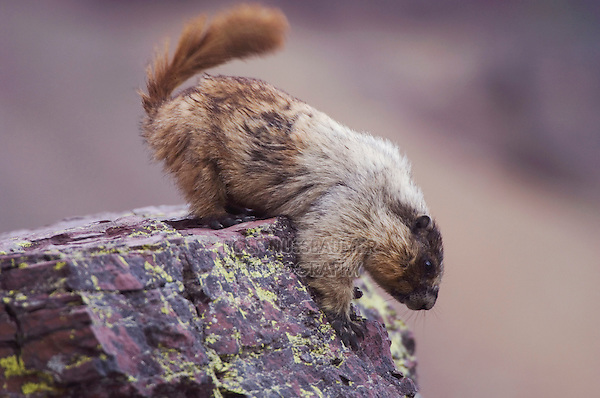 Hoary Marmot,Marmota caligata, adult on rock ledge, Logan Pass,Glacier National Park, Montana, USA