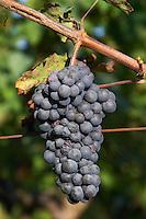 Bunches of ripe grapes. Cabernet franc. Domaine des Roches Neuves, Saumur Champigny, Loire, France