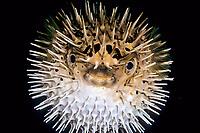 spiny porcupinefish, balloonfish, Diodon holocanthus, Yawatano, Sagami bay, Izu peninsula, Shizuoka, Japan, Pacific Ocean