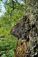 Inonotus obliquus