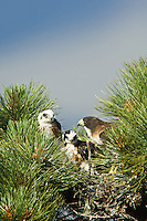 Short-tailed Hawk (Buteo brachyurus), adult female with two nestlings in nest; Arizona, (Nesting Record)