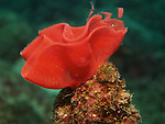 Kenting, Taiwan -- A ribbon of thousands of red nudibranch eggs.
