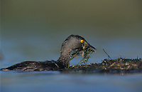 Least Grebe, Tachybaptus dominicus,adult with nest material, Lake Corpus Christi, Texas, USA