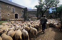 Europe/France/Midi-Pyrénées/12/Aveyron/La Couvertoirade : Cité templière du Larzac - Marc Montagnie et son troupeau de brebis