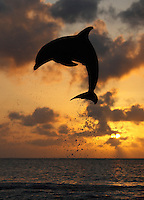 qk2099-Dv. Bottlenose Dolphin (Tursiops truncatus). Honduras, Caribbean Sea..Photo Copyright © Brandon Cole. All rights reserved worldwide.  www.brandoncole.com..This photo is NOT free. It is NOT in the public domain. This photo is a Copyrighted Work, registered with the US Copyright Office. .Rights to reproduction of photograph granted only upon payment in full of agreed upon licensing fee. Any use of this photo prior to such payment is an infringement of copyright and punishable by fines up to  $150,000 USD...Brandon Cole.MARINE PHOTOGRAPHY.http://www.brandoncole.com.email: brandoncole@msn.com.4917 N. Boeing Rd..Spokane Valley, WA  99206  USA.tel: 509-535-3489