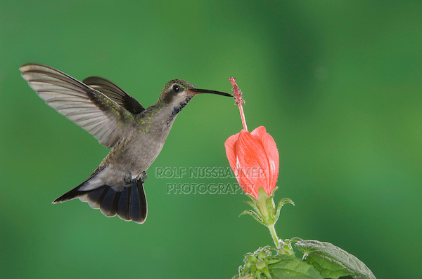 Broad-billed Hummingbird, Cynanthus latirostris, immature male in flight feeding on Turk's Cap (Malvaviscus drummondii),Tucson, Arizona, USA, September 2006