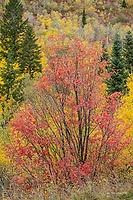 Autumn trees in autumn, Wasatch Mts.