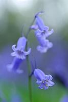 Hyacinthoides non-scripta (Bluebells)