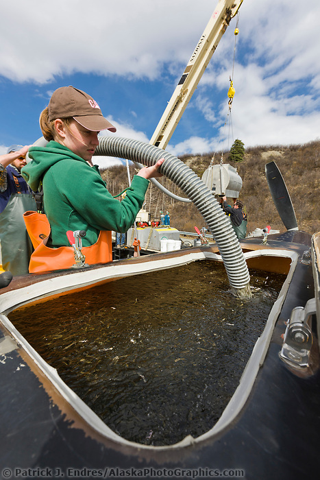 Renee Pszyk load sockeye salmon into the 500 gallon tank of a Thrush agricultural crop-duster aircraft which releases the fry aerially into  Crosswinds lake.