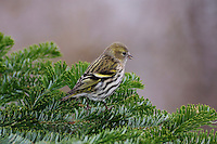Eurasian Siskin (Carduelis spinus), female perched on spruce branch, Zug, Switzerland, December 2007