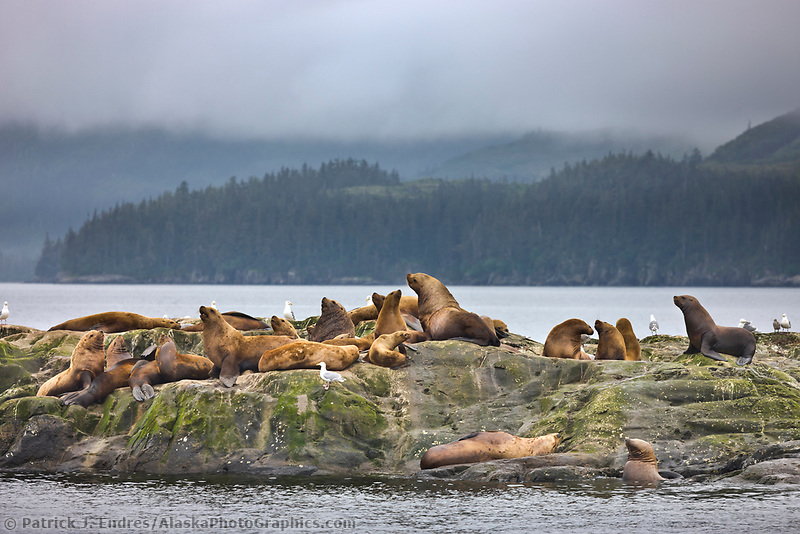 Steller sea lions, Prince William Sound, Alaska.