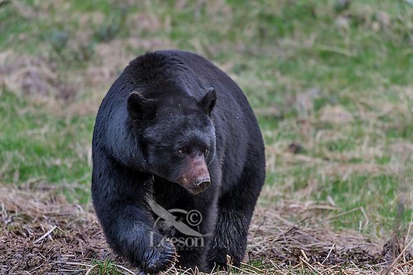 Wild, adult, Black Bear (Ursus americanus) boar walking across meadow in early spring.  Western U.S..