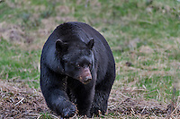 Wild, adult, Black Bear (Ursus americanus) boar walking across meadow in early spring.  Western U.S..