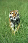 Bengal Tiger (Panthera tigris) in tall grass.