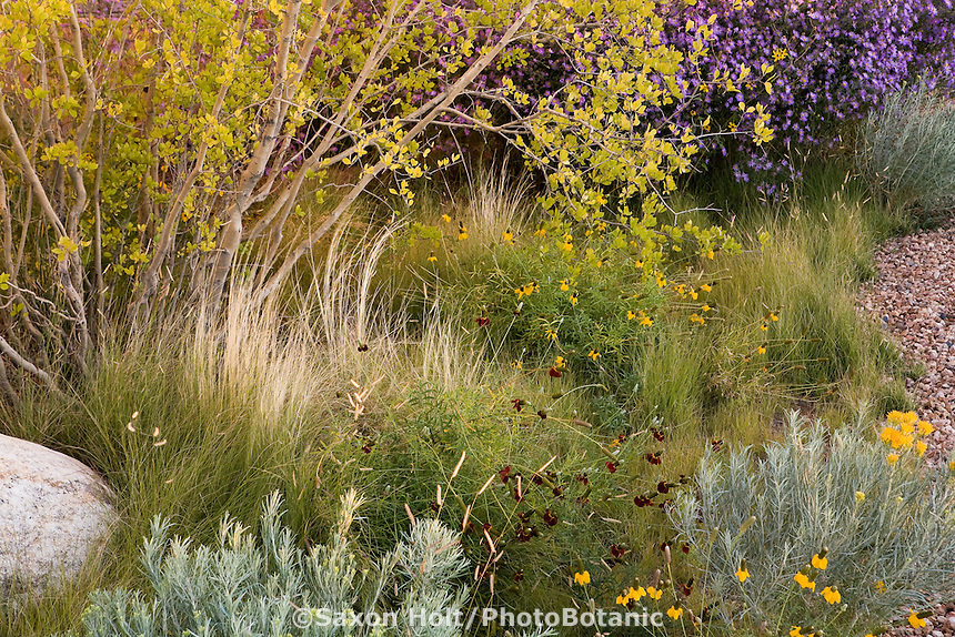 Naturalistic xeriscape low water use meadow landscaping in New Mexico garden with Forestiera tree, Blue Grama Grass (Bouteloua gracilis), Threadgrass (Nassella tenuissima) and Coneflowers 'Pulcherrima' (Ratibida)