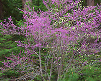 Yosemite National Park, Ca<br /> Redbud (Cercis canadensis) and dogwood (Cornus florida) blooming in forest understory in Yosemite Valley