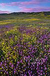 Owls Clover, Monolopia, Caliente Range, Carrizo Plain National Monument, San Luis Obispo County, California