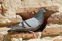 Rock Dove - Columba livia