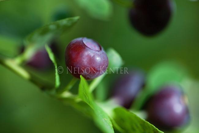 Wild Huckleberries in Montana