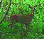 Deer seen in the Esopus Bend Nature Preserve, in Saugerties,NY, on Wednesday, August 16, 2017. Photo by Jim Peppler. Copyright/Jim Peppler-2017.