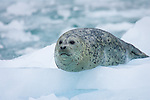 Harbor Seal on iceberg, LeConte Glacier, Alaska