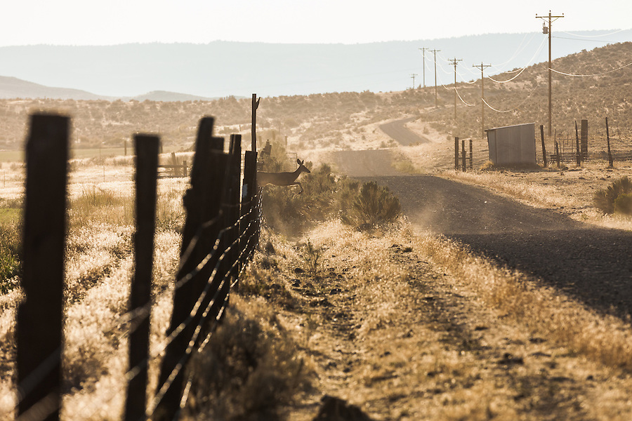 A Columbian black-tailed deer leap over or run under a barb-wire fence and cross a gravel road in a remote and rural part of Southeast Oregon.